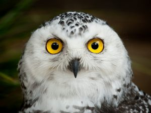 Глаза полярной совы