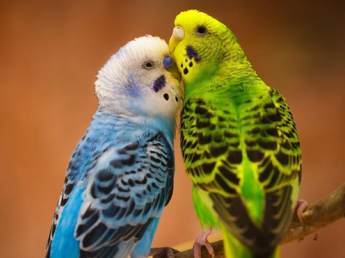 Попугаевы нежности