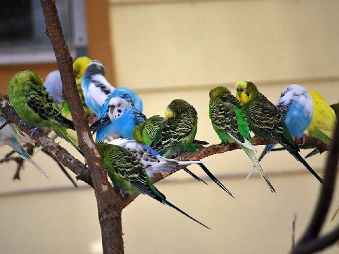 Попугаи на воле