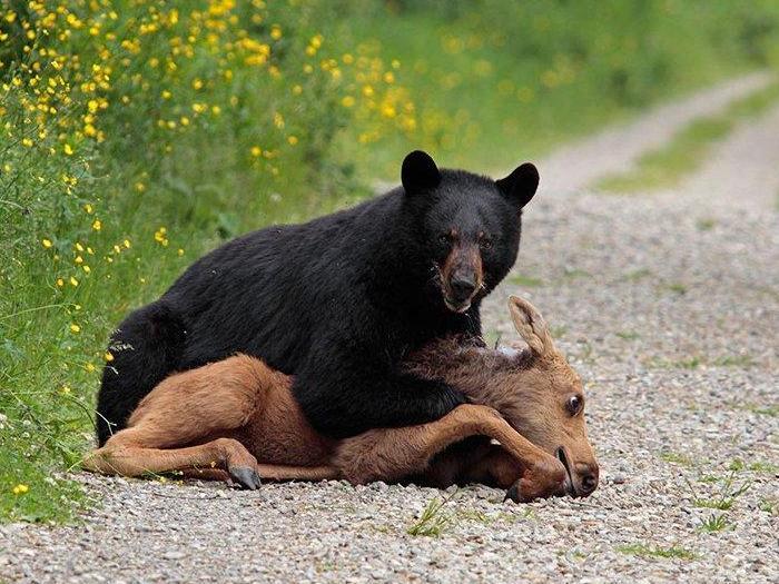 Фото-медведя-барибала-Лучшие-фото-6