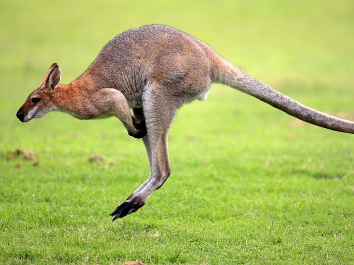 Прыткий кенгуру