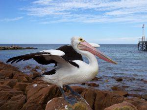 Птицы острова Кенгуру