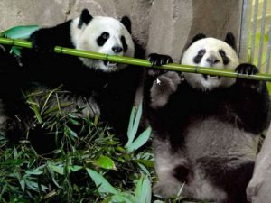Лучшая еда бамбук