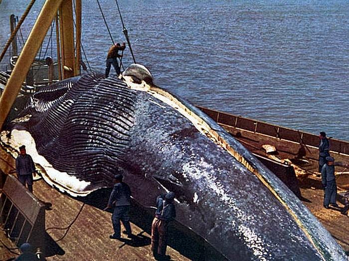 Разделка синего кита