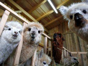 Как разводить альпаку