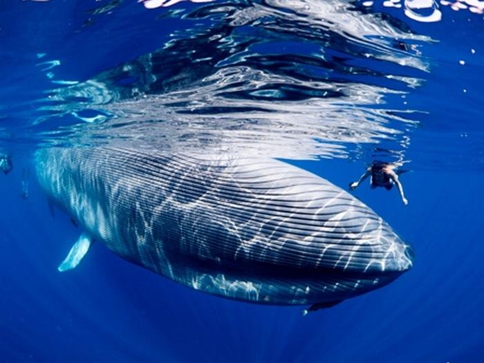Рядом с синим китом