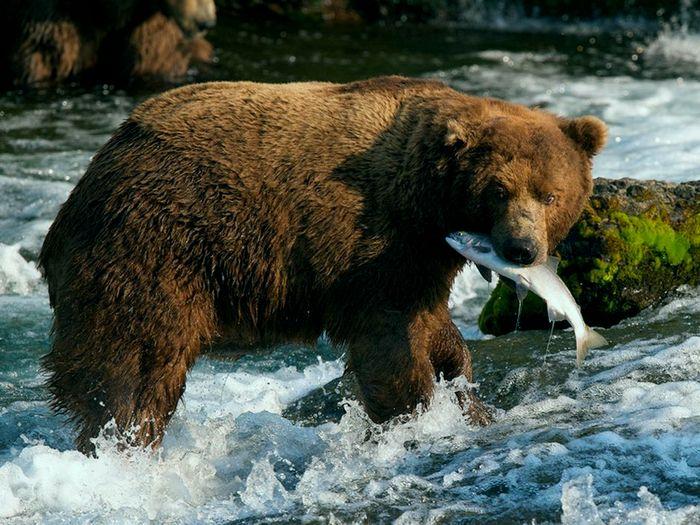 Рыбный день у медведя