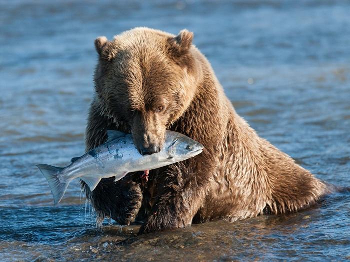 Медведь-рыбожор