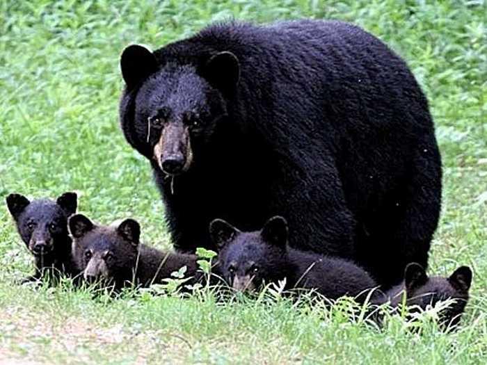 Фото-медведя-барибала-Лучшие-фото-8