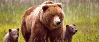 Медведь - описание. Где живут медведи? Все виды