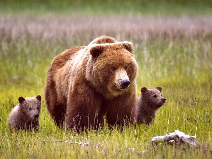 Кадьяк-медведь-Описание-и-образ-жизни-кадьяка-7