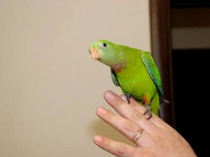 Самка баррабандова попугая