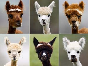 Самые стильные причёски альпаки