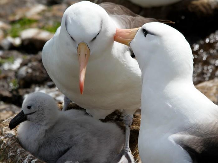 Семья альбатросов