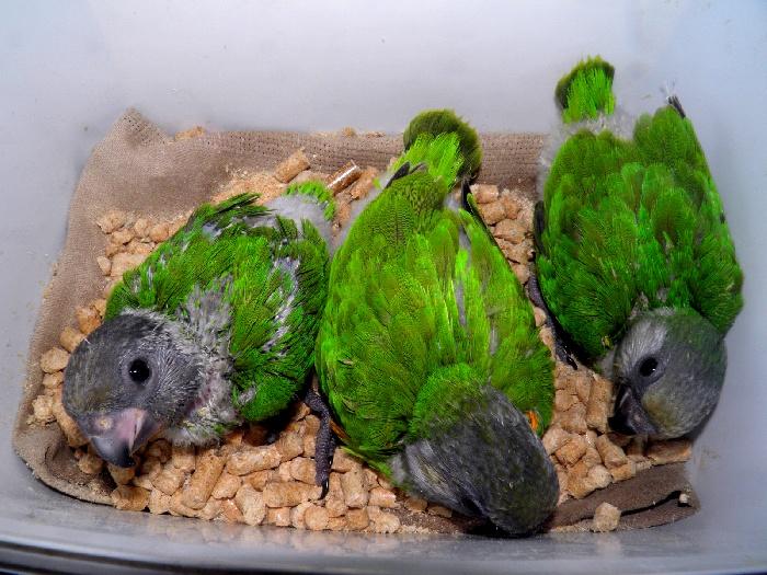 Сенегальские птенчики
