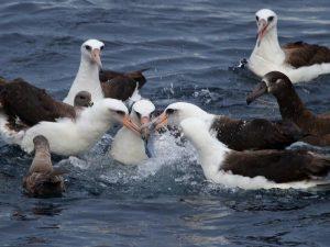 Северные королевские альбатросы