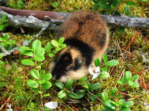Сибирский (Lemmus sibiricus)