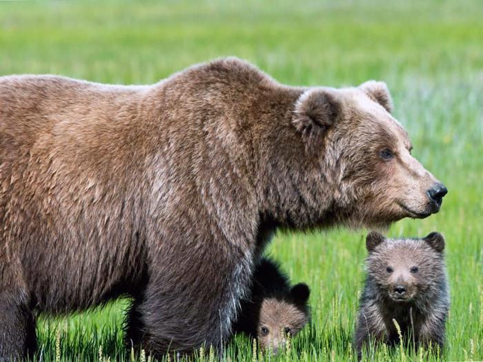 Самка сибирского медведя с детенышами