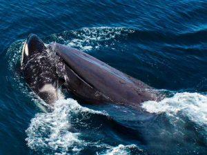 Синий кит и касатки