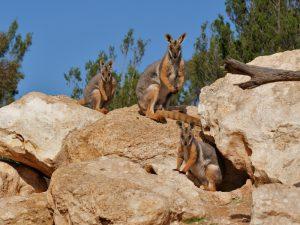 Скальные кенгуру