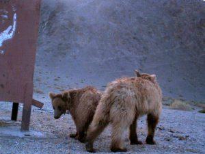Медведи скитальцы