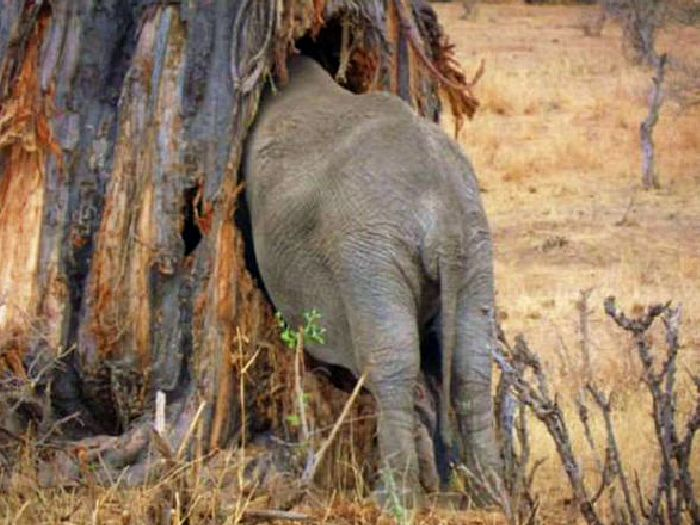 Слон в баобабе