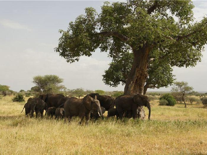 Слоны и баобабы