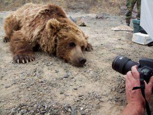 Исчезающие медведи Гоби