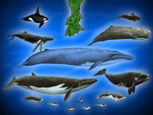 Сравнение китов