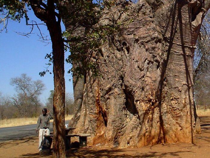 Старинный баобаб