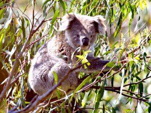 Сумчатый коала