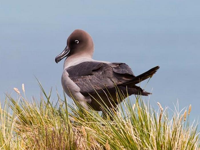 Светлоспинный дымчатый альбатрос