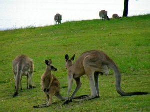 Так пасутся кенгуру