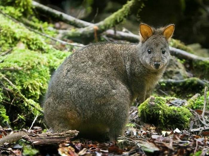 Тасманийский кенгуру