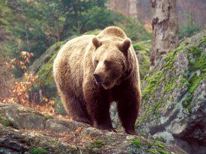 Сибирский медведь. Описание и образ жизни сибирского медведя