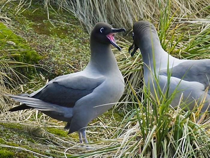 Темноспинный дымчатый альбатрос