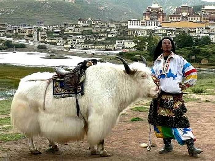 Тибетский верховой бык