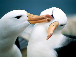 Два альбатроса