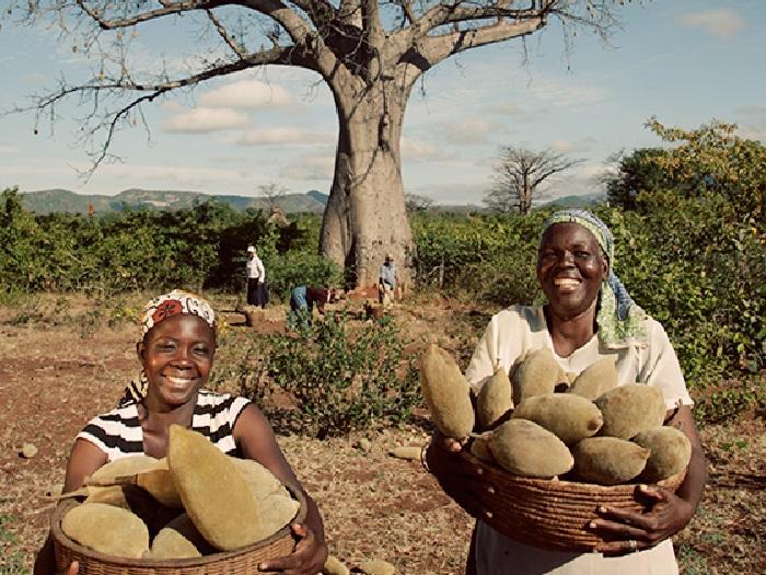 Урожай баобаба