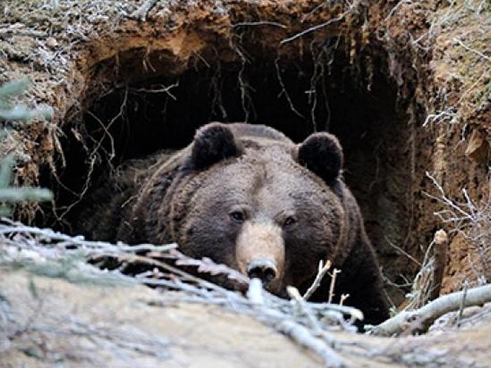 Сибирский-медведь-Описание-и-образ-жизни-сибирского-медведя-9