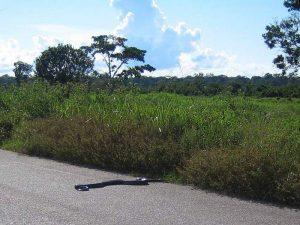Анаконда на дороге