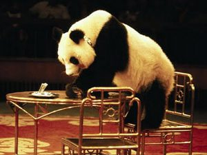 Панда в цирке