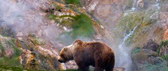 Камчатский медведь. Описание и образ жизни камчатского медведя