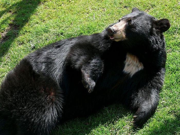 Фото-медведя-барибала-Лучшие-фото-2