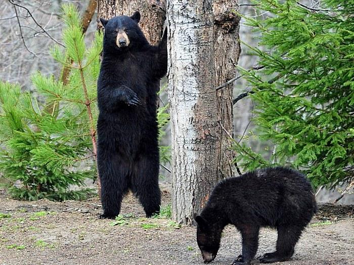 Фото медведя барибала. Лучшие фото