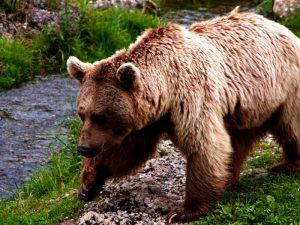 Европейский медведь. Описание и образ жизни европейского медведя