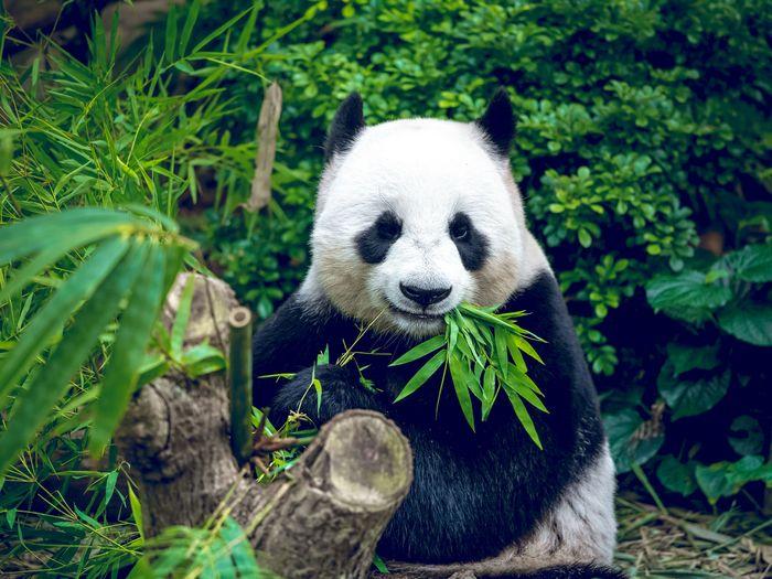 Две больших панды вернулись в Китай из США