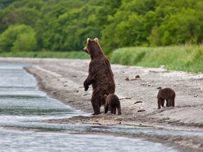Медведица с медвежатами на берегу