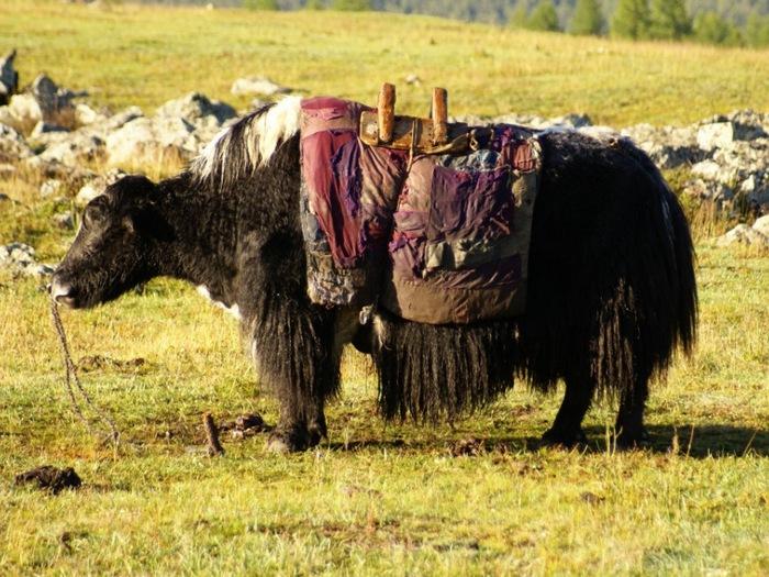Верховой монгольский хайнак