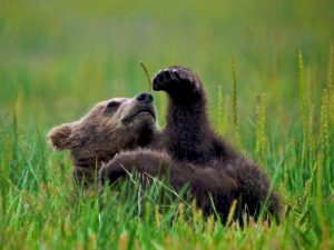 Гобийский медвежонок